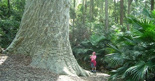 Giant Spotted Gum